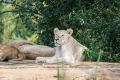 Group of lions resting on a rock Stock Image