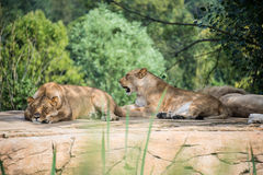 Group of lions resting on a rock Royalty Free Stock Image