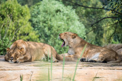 Group of lions resting on a rock Stock Images