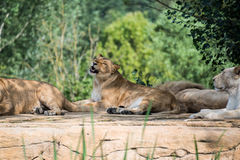 Group of lions resting on a rock Royalty Free Stock Photos