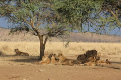 Group of lions resting in the shadow of a tree in the savannah Royalty Free Stock Photography