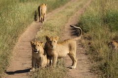 Group of lions in the road of National Park of Serengeti, Tanzan stock photography