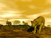 Group of lions in the savannah Royalty Free Stock Image