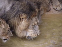 Group of lions. At a waterhole in Tunis Zoo royalty free stock photos