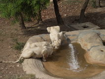 Group of lions. At a waterhole in Tunis Zoo stock photography