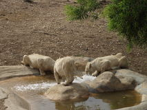 Group of lions. At a waterhole in Tunis Zoo royalty free stock photo