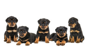 Group litter of rottweiler dog puppies Stock Images