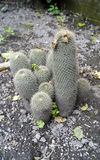 Group of little cactus growing together Royalty Free Stock Photo