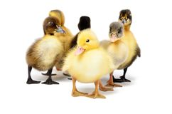 Group of little cute ducklings royalty free stock photos