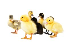 Group of little cute ducklings stock photo