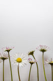 Group of little daisy flowers on white textured canvas background Royalty Free Stock Photo