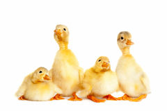 Group of little duckling Royalty Free Stock Photography