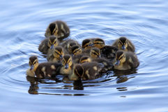 Group of Little Ducklings. A large group of little mallard ducklings swimming on a pond Stock Image