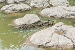 A group of little ducks swimming on pond. A group of little  ducks swimming on pond with background of rocks Stock Image