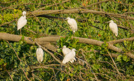 Group of Little Egrets perching on tree Royalty Free Stock Photography