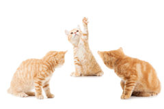 Group of little Ginger british shorthair cats Stock Photography
