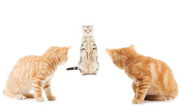 Group of little Ginger british shorthair cats over whtie backgro Stock Images