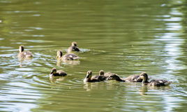 Group of little Mallard ducklings – Anas platyrhynchos – in. Group of little Mallard ducklings – Anas platyrhynchos. Bird scene. Beauty in nature Royalty Free Stock Images