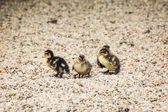 Group of little mallard ducklings Stock Image