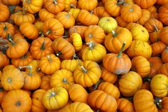 Group of little orange pumpkins. Straight from the garden Royalty Free Stock Image