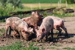 A group of little pigs digging in the dirt on the lawn. Livestock farm. Horizontally framed shot royalty free stock images