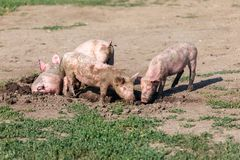 A group of little pigs digging in the dirt on the lawn. Livestock farm. Horizontally framed shot royalty free stock photo