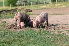 A group of little pigs digging in the dirt on the lawn. Livestock farm. Horizontally framed shot stock photos