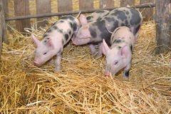 Group of little pigs Royalty Free Stock Photo
