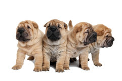 Group of little puppy dogs Royalty Free Stock Image