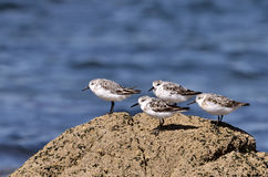 Group of Little stints at Quiberon in France Stock Photo