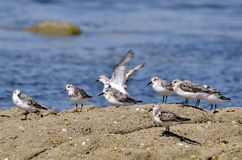 Group of Little stints at Quiberon in France Stock Images