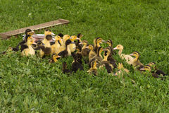 Group of little yellow ducklings. Group of yellow-black ducklings sitting in the low grass next to the trough of food and a bowl of water, close-up. Summer day Stock Photography