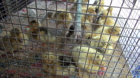 Group  little yellow ducklings in metal cage, Mumbai market stock footage
