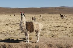 A group of llamas alpaca grazing in the highlands in the beautiful landscape of the Andes Mountains - Bolivia Royalty Free Stock Photos