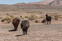 A group of llamas alpaca grazing in the highlands in the beautiful landscape of the Andes Mountains - Bolivia Royalty Free Stock Image