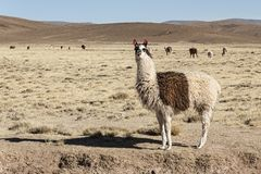 A group of llamas alpaca grazing in the highlands in the beautiful landscape of the Andes Mountains - Bolivia Stock Photography