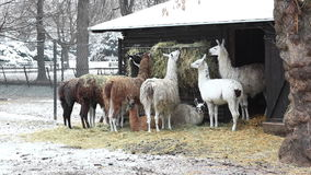 Group of llamas feeding in winter stock video