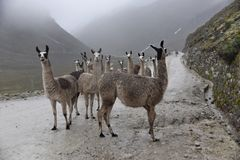 A group of llamas between the fog royalty free stock photo