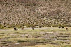Group of llamas grazing Stock Image