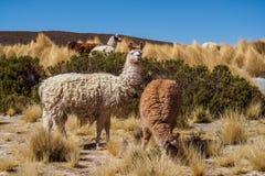 Group of llamas in the National Park Avaroa, Bolivia stock image