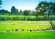 Group of local birds, Anastomus oscitans or Openbill stork birds walking and standing in the organic rice field in countryside. stock photography