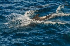 Long-Finned Pilot Whales in the Southern Atlantic Ocean. A group of Long-Finned Pilot Whales -Globicephala melas- swimming in the South Atlantic Ocean, near the royalty free stock image