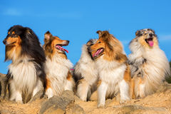 Group of long hair collie dogs Royalty Free Stock Photo