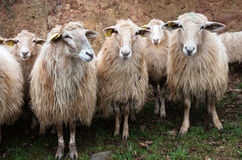 Group of long wool hair sheep waiting with curiosity Royalty Free Stock Photos