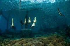 Group of longfin Batfish juvenile swim around in Gili, Lombok, Nusa Tenggara Barat, Indonesia underwater photo Stock Image