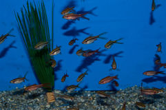 Group of Longfin Cherry Barbs Stock Photo