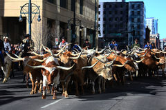 Group of longhorn steers parading through the city Stock Images
