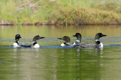 Group of loons swimming in a circle Stock Images