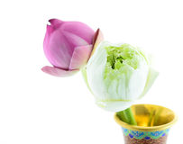 A group of  lotus. A group of white and pink lotus Stock Photo