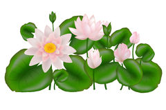 Group Lotuses with leaves, Isolated. Vector Stock Photos
